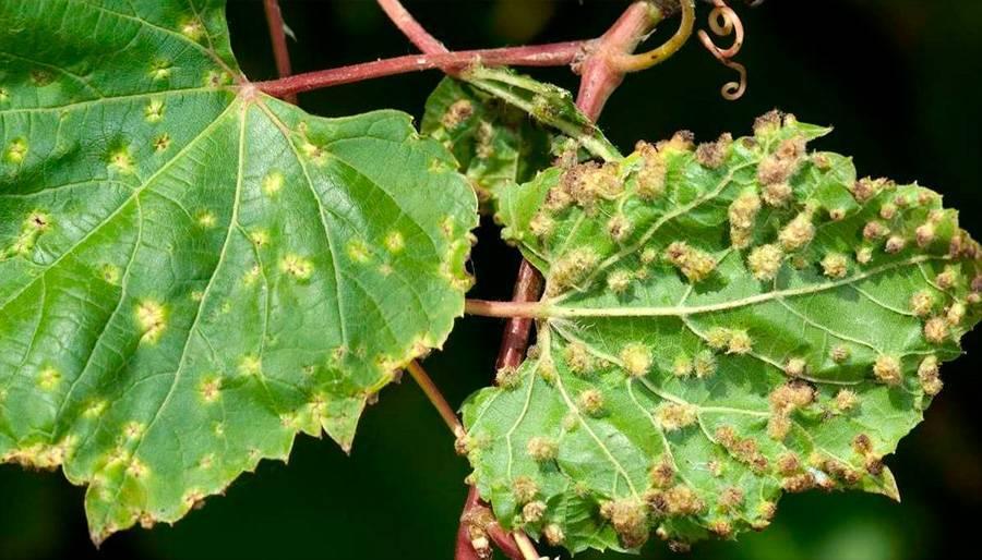 Болезни винограда. Филлоксера.