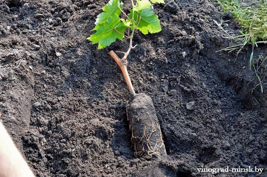 Высадка укорененного саженца винограда в открытый грунт.