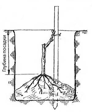 Пасадка винограда. Расположение саженца в яме. Корни располагаются на холмике.