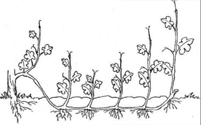 Размножение винограда отводком -китайскийспособ.