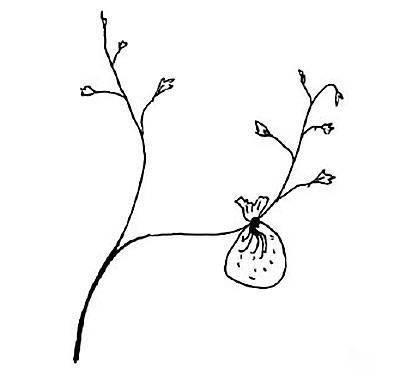 Укоренение винограда воздушным отводком, прямо на растущем побеге.