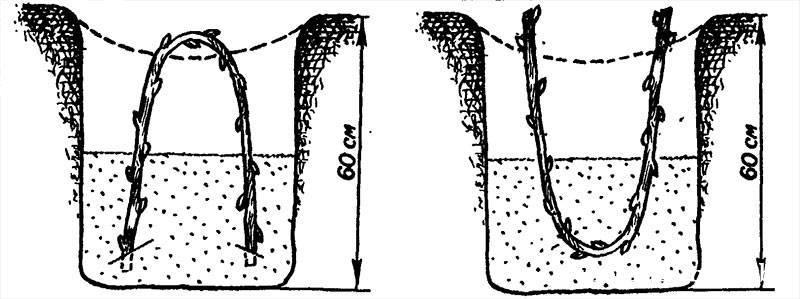 Посадка удлиненных черенков дугой кверху и дугой книзу.