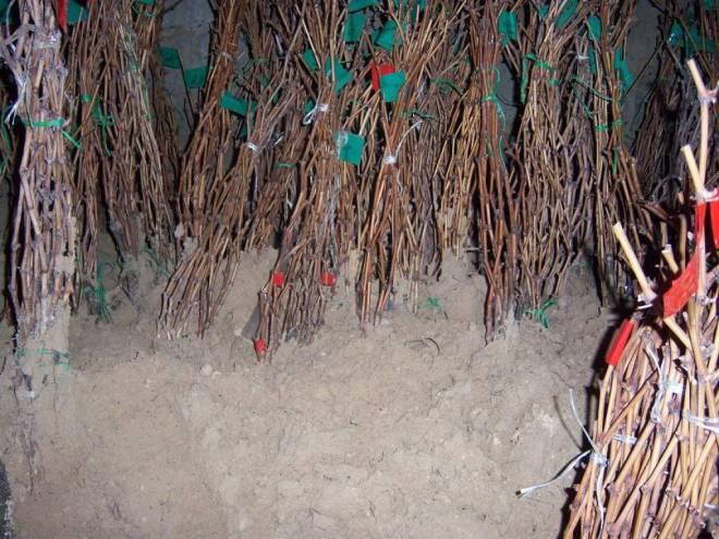 Хранение черенков в подвале в песке.