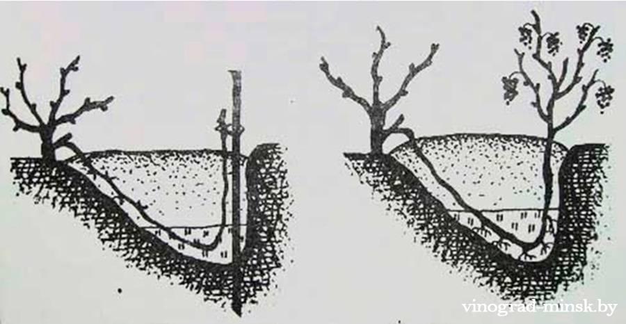 Укоренение винограда отводком
