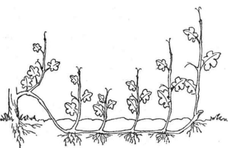 Горизонтальные отводки для размножения винограда (Китайский отводок)