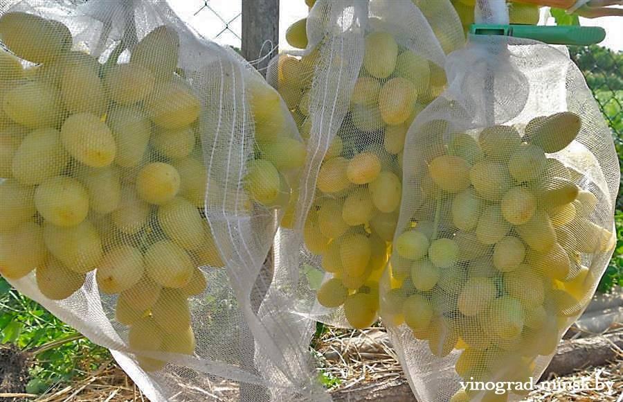 Как избавиться от ос на винограднике