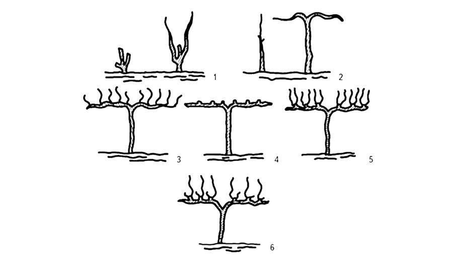 Формировка на штамбе: 1 – куст весной и осенью первого года вегетации; 2 – куст весной и осенью второго года вегетации; 3 – куст осенью третьего года вегетации; 4 – куст весной четвертого года вегетации; 5 – куст осенью четвертого года вегетации; 6 – куст весной пятого года вегетации.