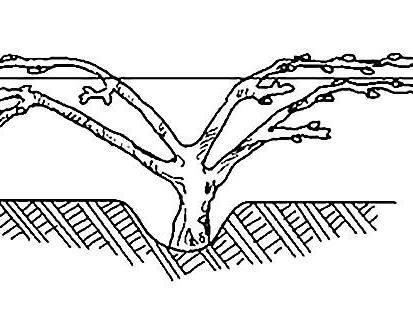 Подвязываем виноград