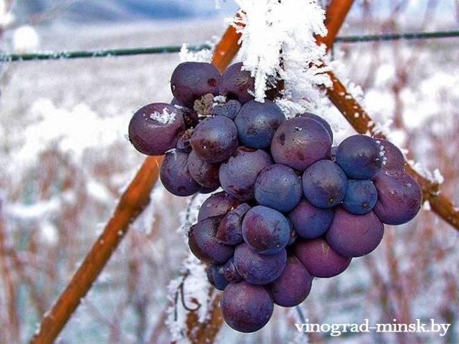 Осенние заморозки на винограднике