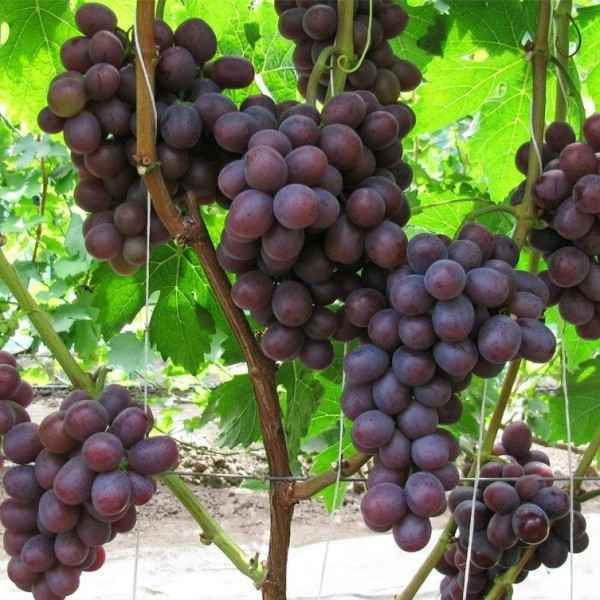 Сенатор Павловского виноград, купить черенки и саженцы сорта Сенатор Павловского в Минске