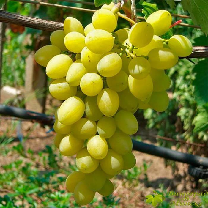 Аксинья виноград, купить черенки и саженцы сорта Аксинья в Минске