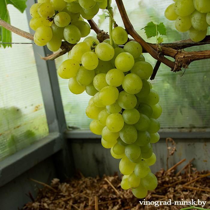 Антоний Великий виноград, купить черенки и саженцы сорта Антоний Великий в Минске