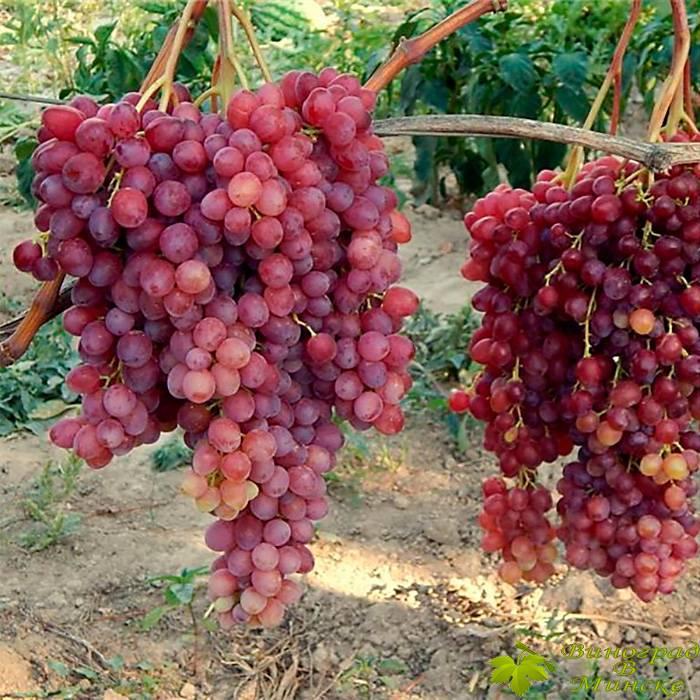 Велес виноград, купить черенки и саженцы сорта Велес в Минске