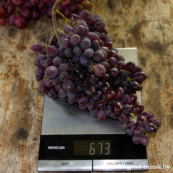 Кишмиш запорожский виноград, купить черенки и саженцы сорта Кишмиш запорожский в Минске