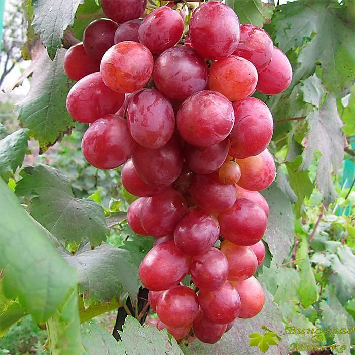 Анюта виноград, купить черенки и саженцы сорта Анюта в Минске