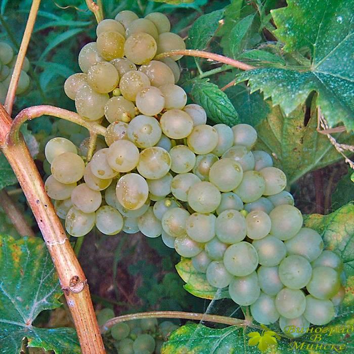 Галахад виноград, купить черенки и саженцы сорта Галахад в Минске