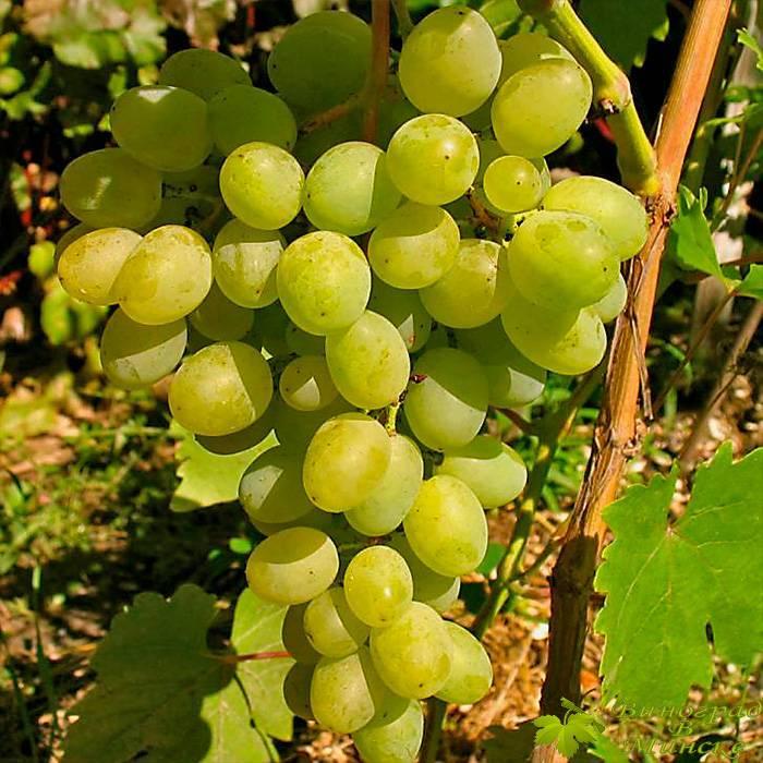 Гарольд виноград, купить черенки и саженцы сорта Гарольд в Минске