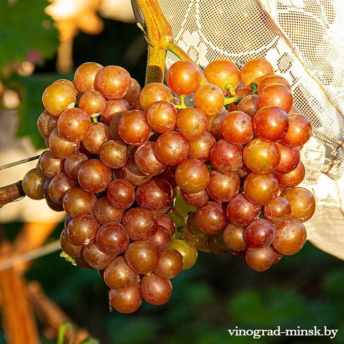 Зигерребе виноград, купить черенки и саженцы сорта Зигерребе в Минске