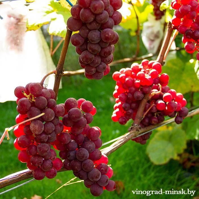 Лепсна виноград, купить черенки и саженцы сорта Лепсна в Минске