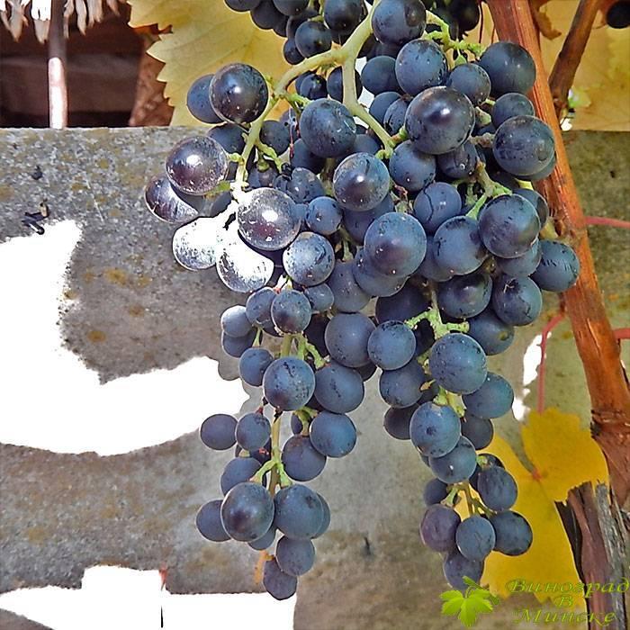 Мускат Блау виноград, купить черенки и саженцы сорта Мускат Блау в Минске