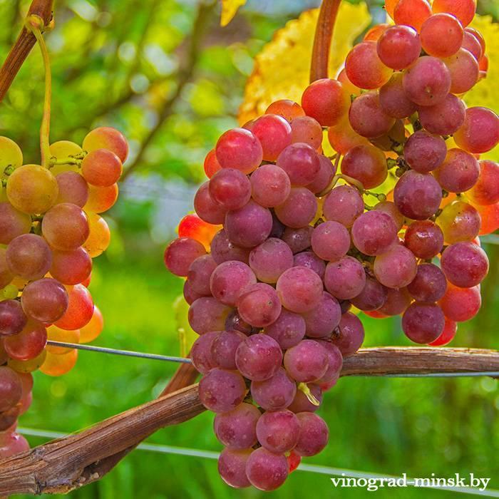 Паланга виноград, купить черенки и саженцы сорта Паланга в Минске