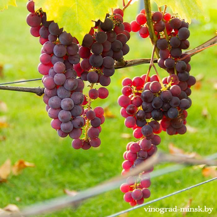 Свенсон Ред виноград, купить черенки и саженцы сорта Свенсон Ред в Минске