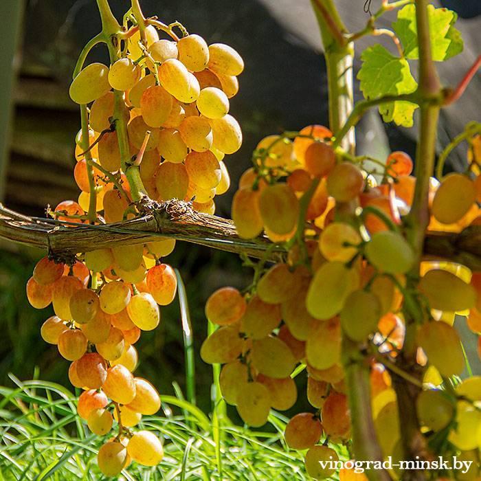 Находка виноград, купить черенки и саженцы сорта Находка в Минске