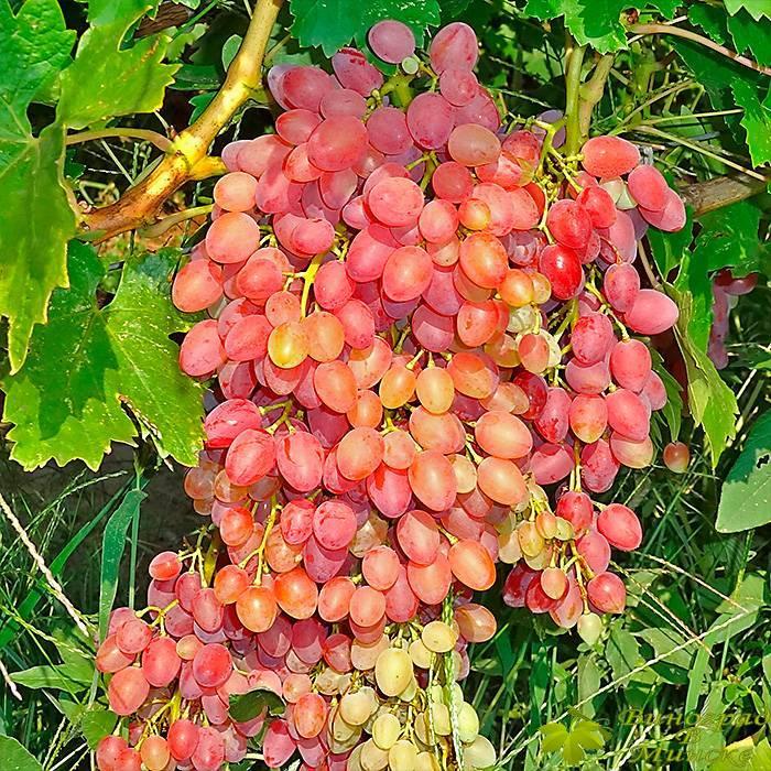 Лучистый виноград, купить черенки и саженцы сорта Лучистый в Минске