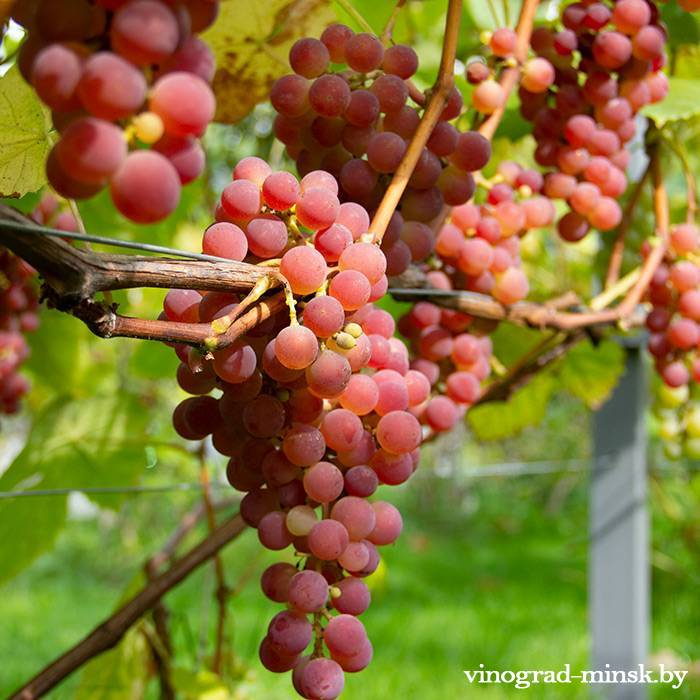 Ядвига Гайлюнаса виноград, купить черенки и саженцы сорта Ядвига Гайлюнаса в Минске