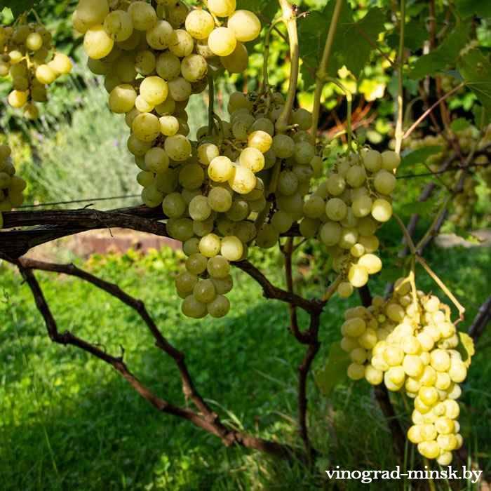 Лора (Флора) виноград, купить черенки и саженцы сорта Лора (Флора) в Минске