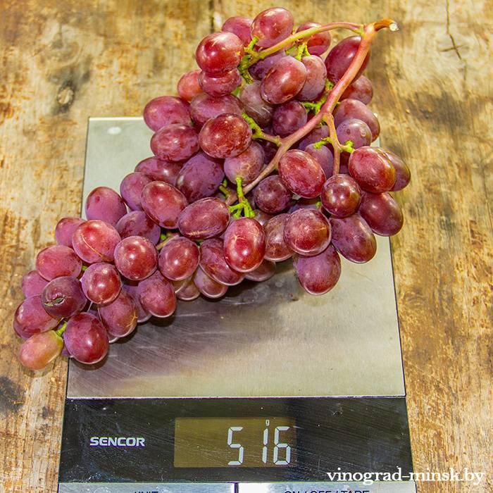 Виктория виноград, купить черенки и саженцы сорта Виктория в Минске