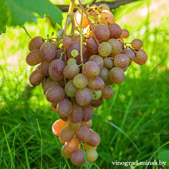 Донские зори виноград, купить черенки и саженцы сорта Донские зори в Минске