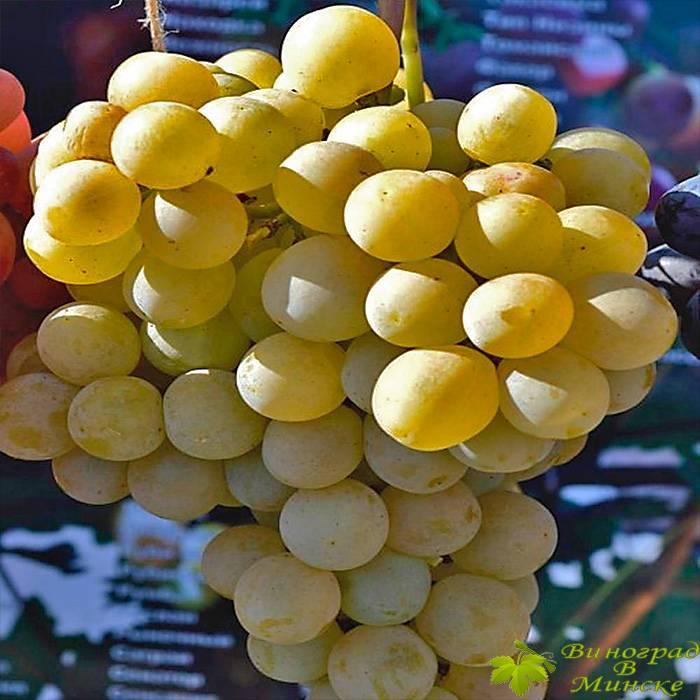 Ланселот виноград, купить черенки и саженцы сорта Ланселот в Минске