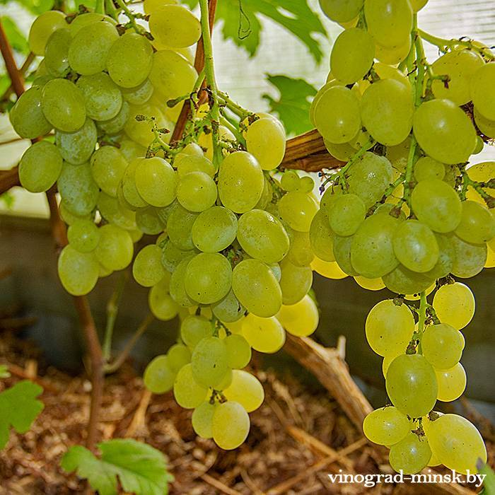 Лучезарный виноград, купить черенки и саженцы сорта Лучезарный в Минске