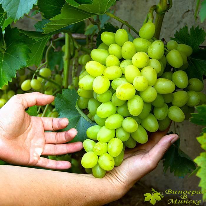 Аркадия (Настя) виноград, купить черенки и саженцы сорта Аркадия (Настя) в Минске