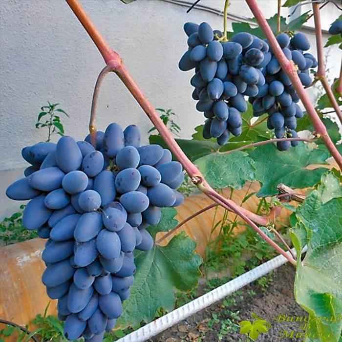 Атос виноград, купить черенки и саженцы сорта Атос в Минске