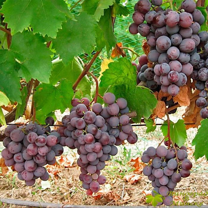 Армани виноград, купить черенки и саженцы сорта Армани в Минске