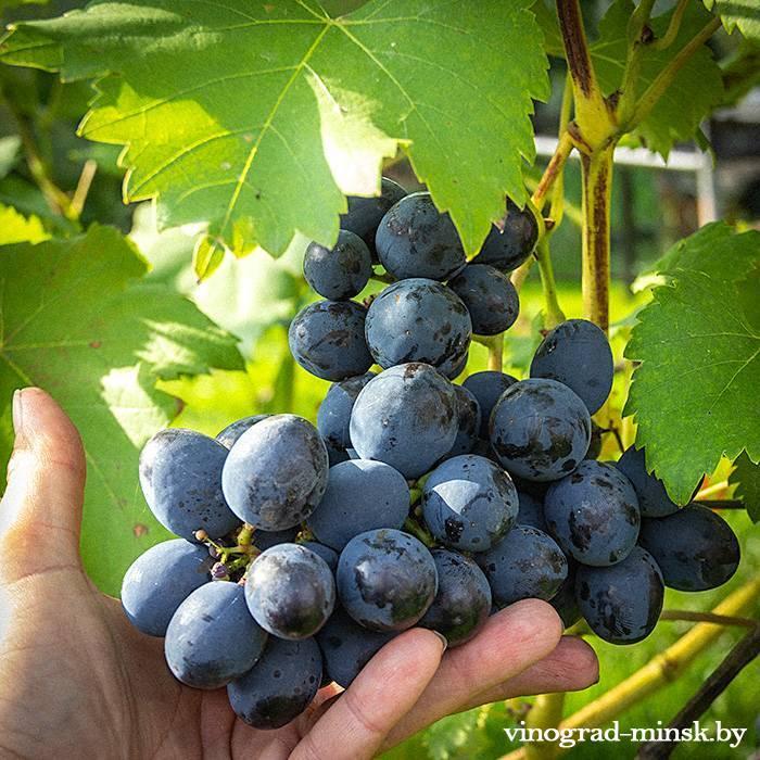 Сфинкс виноград, купить черенки и саженцы сорта Сфинкс в Минске