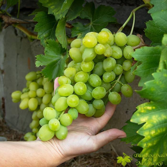 Интрига Ранняя виноград, купить черенки и саженцы сорта Интрига Ранняя в Минске