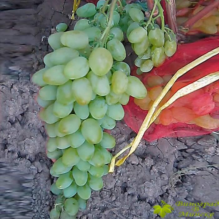 Елизавета виноград, купить черенки и саженцы сорта Елизавета в Минске