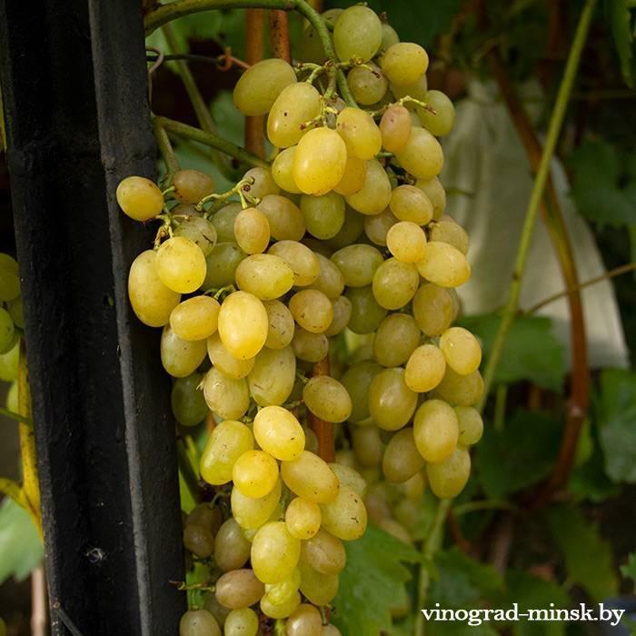 Неизвестный сорт (называем Малдамонд) виноград, купить черенки и саженцы сорта Неизвестный сорт (называем Малдамонд) в Минске