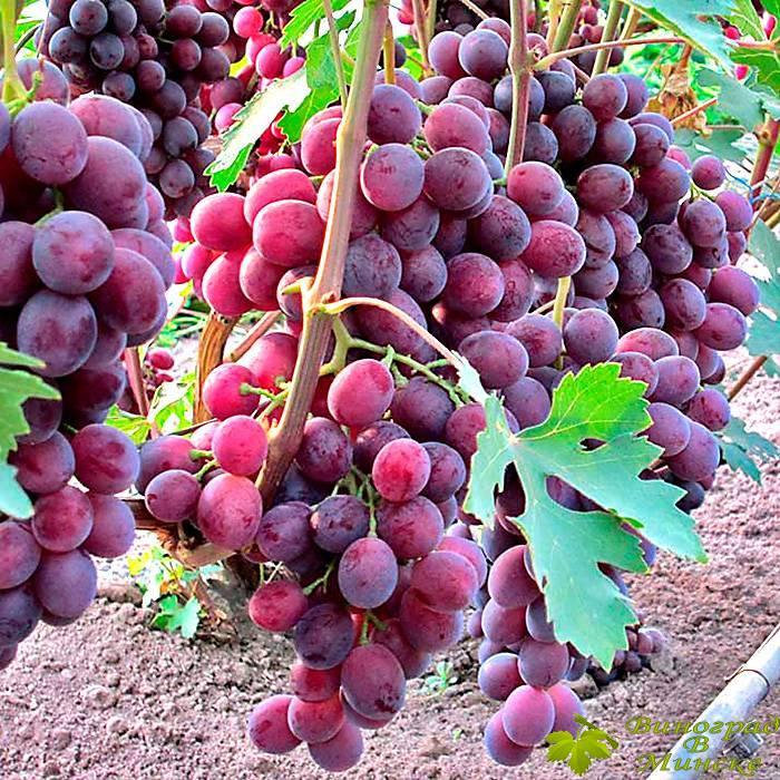 Заря Несветая виноград, купить черенки и саженцы сорта Заря Несветая в Минске