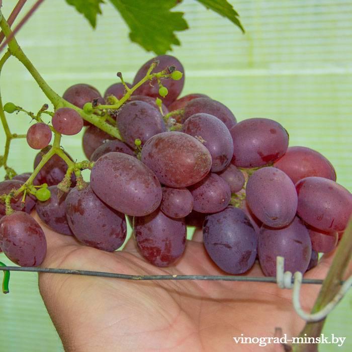 Атаман (Крайнова) виноград, купить черенки и саженцы сорта Атаман (Крайнова) в Минске