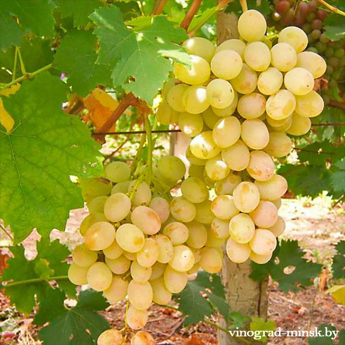 Розовая Дымка виноград, купить черенки и саженцы сорта Розовая Дымка в Минске