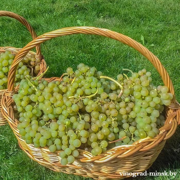 Реформ виноград, купить черенки и саженцы сорта Реформ в Минске