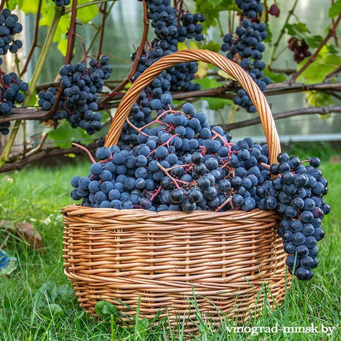 Симоне виноград, купить черенки и саженцы сорта Симоне в Минске