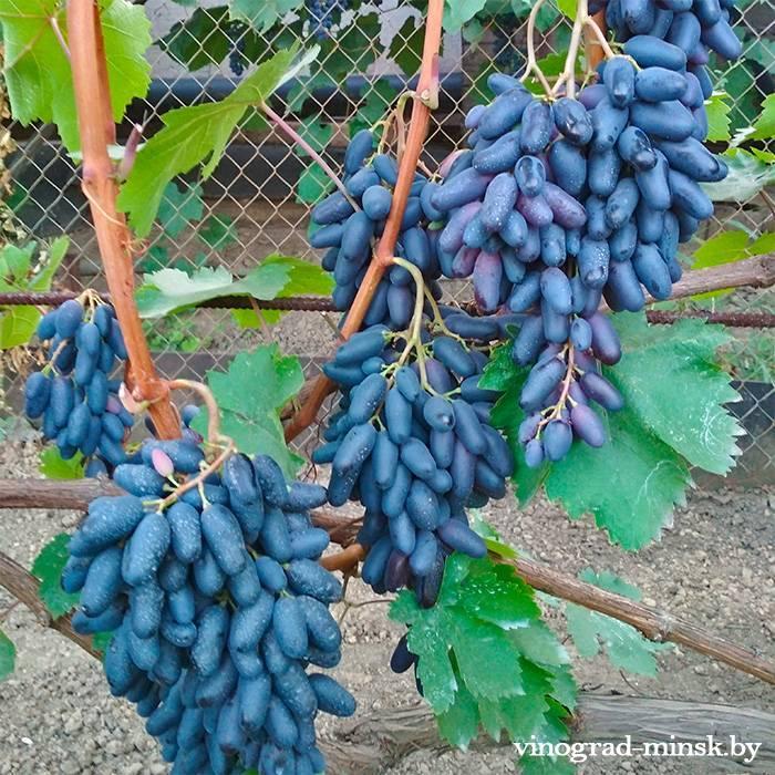 Одесский сувенир виноград, купить черенки и саженцы сорта Одесский сувенир в Минске