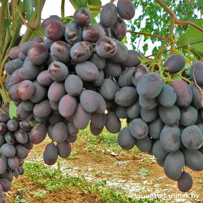 Каталония виноград, купить черенки и саженцы сорта Каталония в Минске