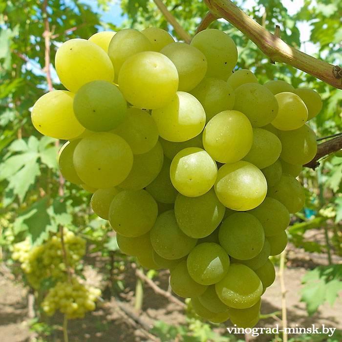 Валёк виноград, купить черенки и саженцы сорта Валёк в Минске