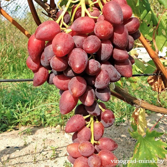 Дубовский розовый виноград, купить черенки и саженцы сорта Дубовский розовый в Минске